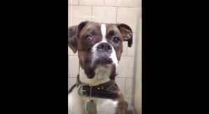 boxer at vet